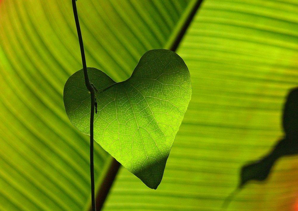 closeup of a heart shaped leaf