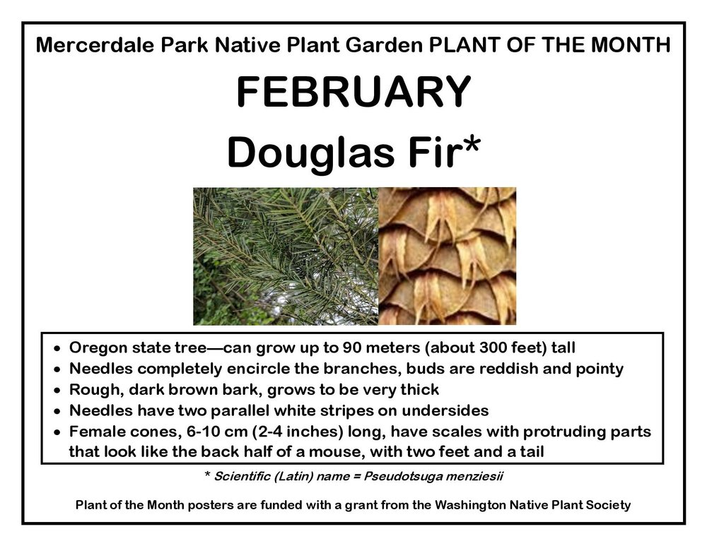 PLANT OF THE MONTH February Douglas Fir v4(1)(1)-page-001.jpg