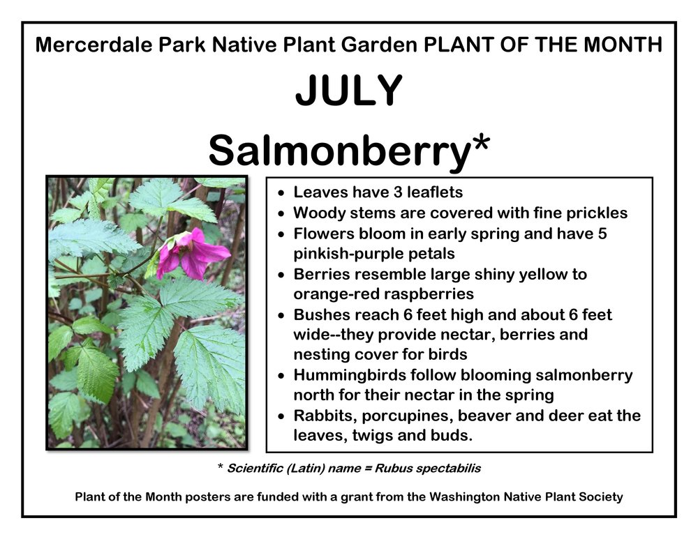 p PLANT OF THE MONTH 7 July Salmonberry v2-page-001.jpg