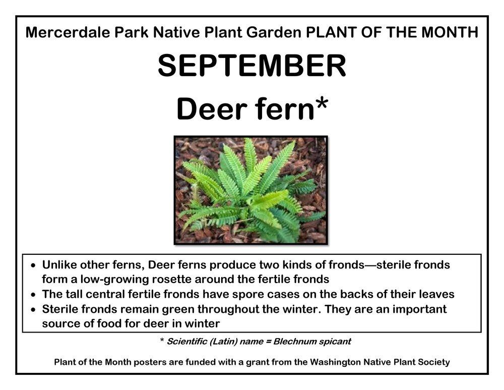 p PLANT OF THE MONTH 9 September Deer fern v3-page-001.jpg