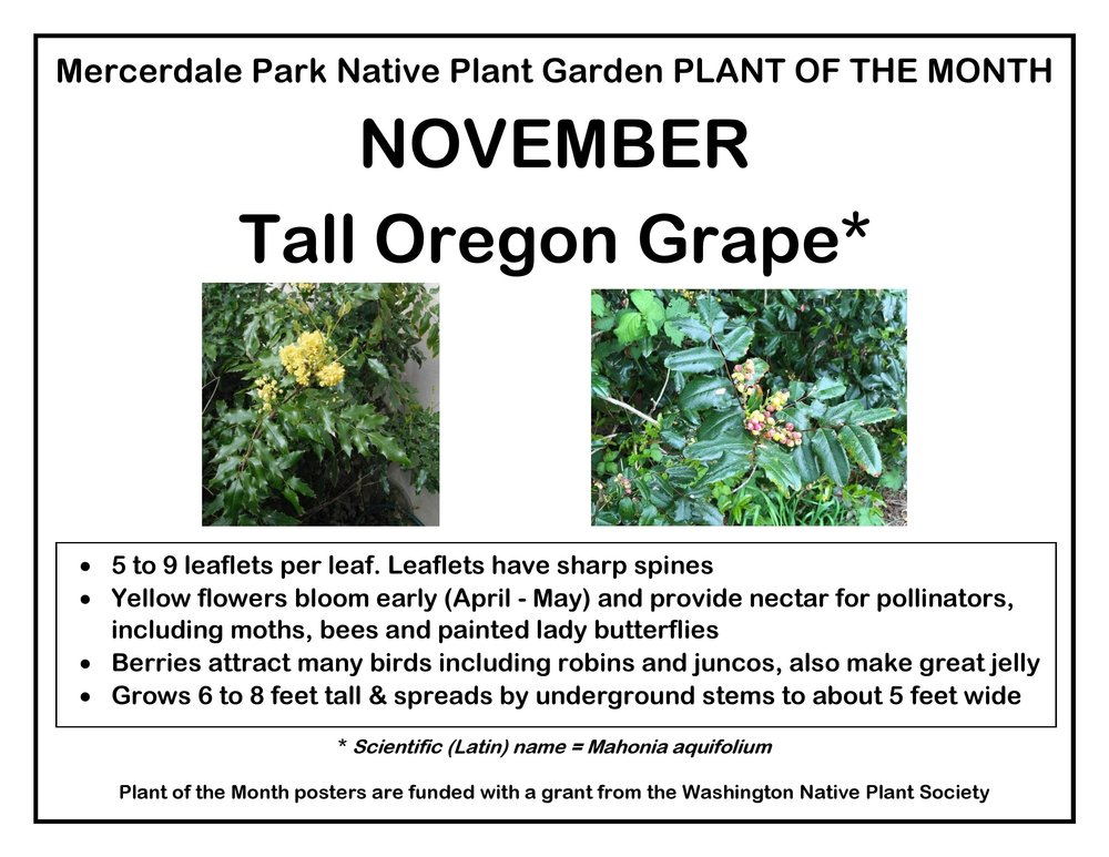 p PLANT OF THE MONTH 11 November Tall Oregon Grape v2-page-001.jpg