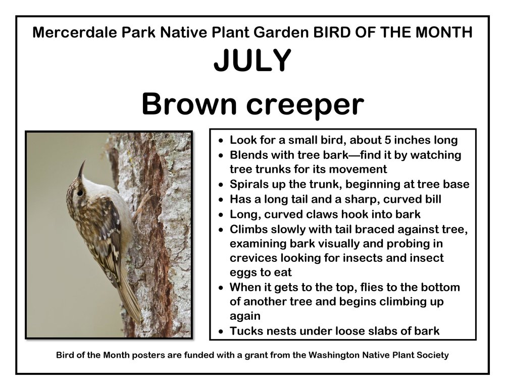 p BIRD OF THE MONTH 7 July Brown creeper v2-page-001.jpg