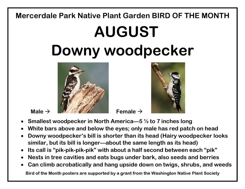 p BIRD OF THE MONTH 8 August Downy woodpecker-page-001.jpg