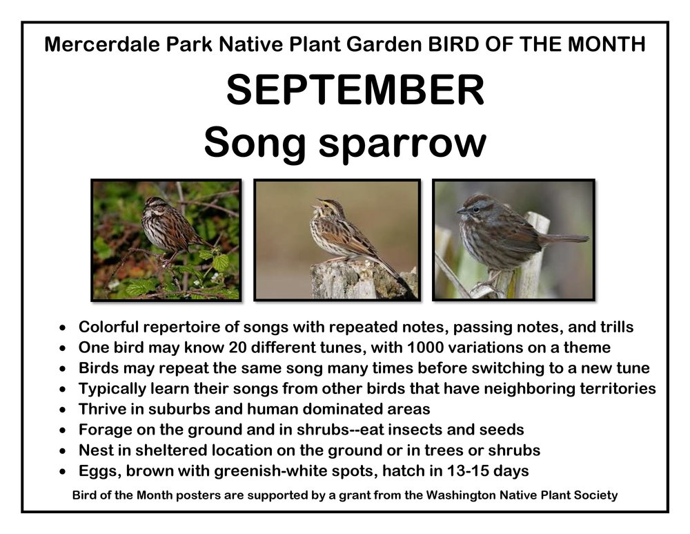 p BIRD OF THE MONTH 9 September Song sparrow-page-001.jpg