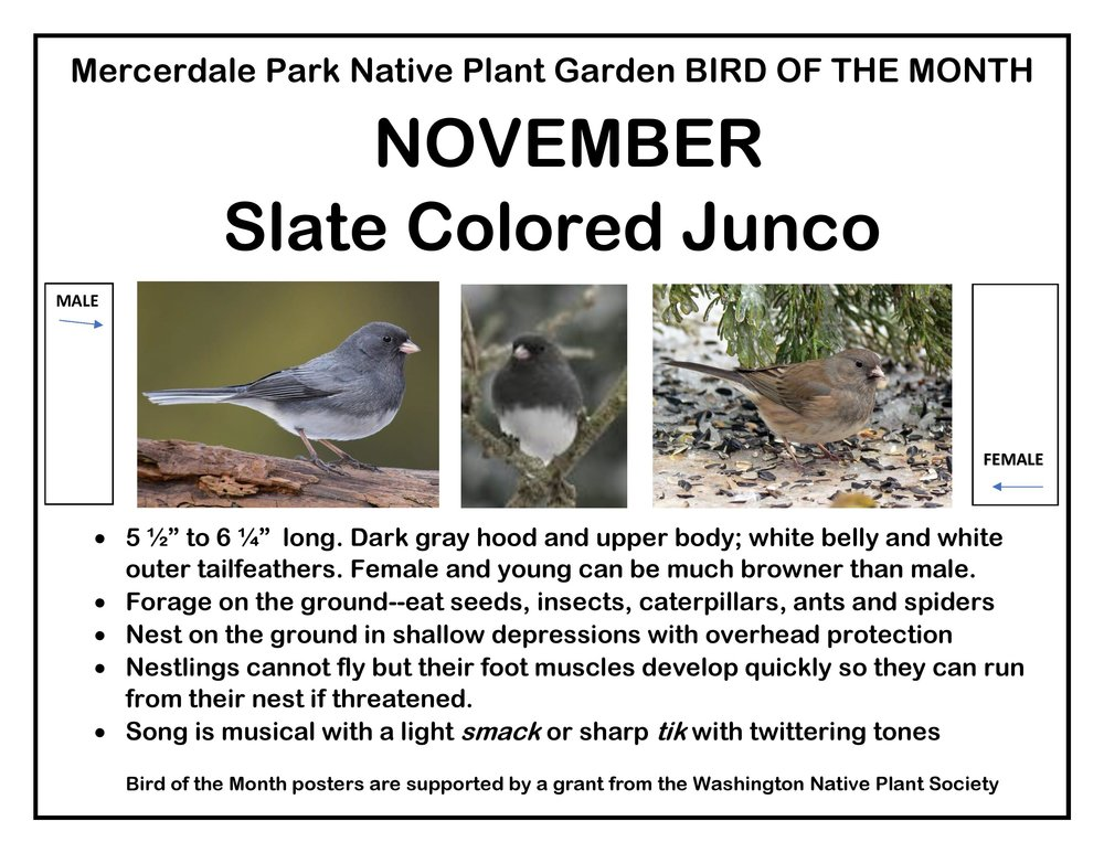 p BIRD OF THE MONTH 11 November Slate Colored Junco-page-001.jpg