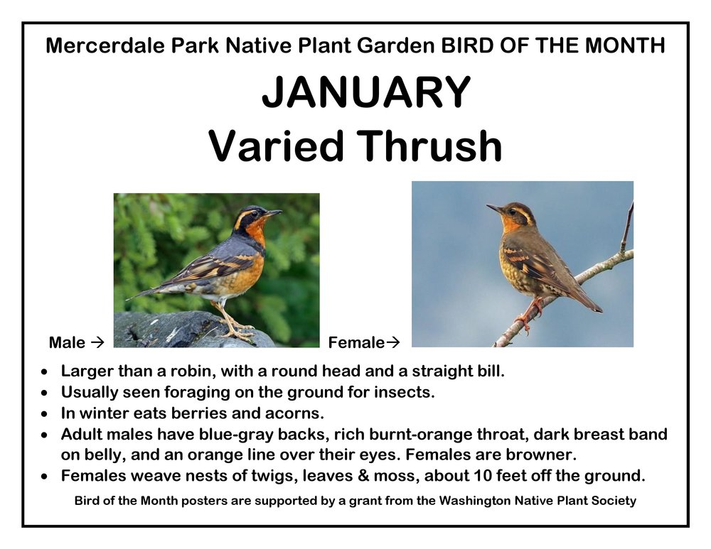 p BIRD OF THE MONTH 1 January Varied Thrush FINAL-page-001.jpg