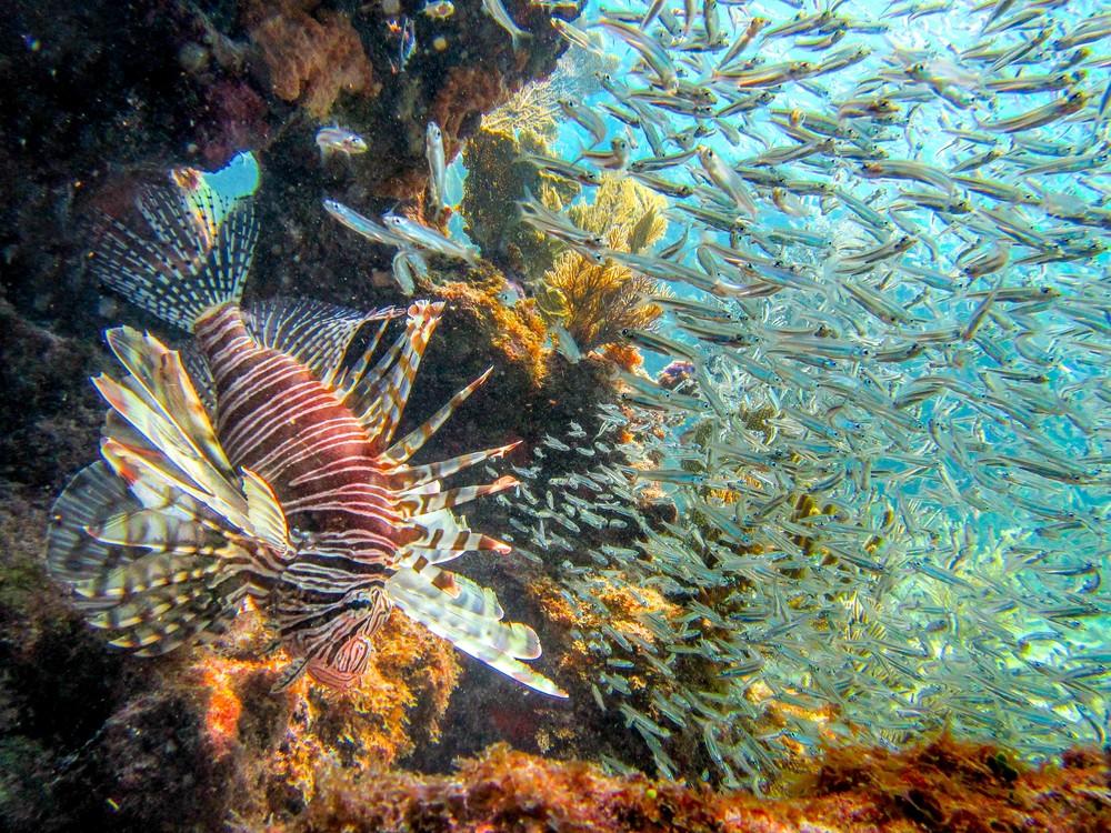 Lionfish n Baitfish-1.jpg