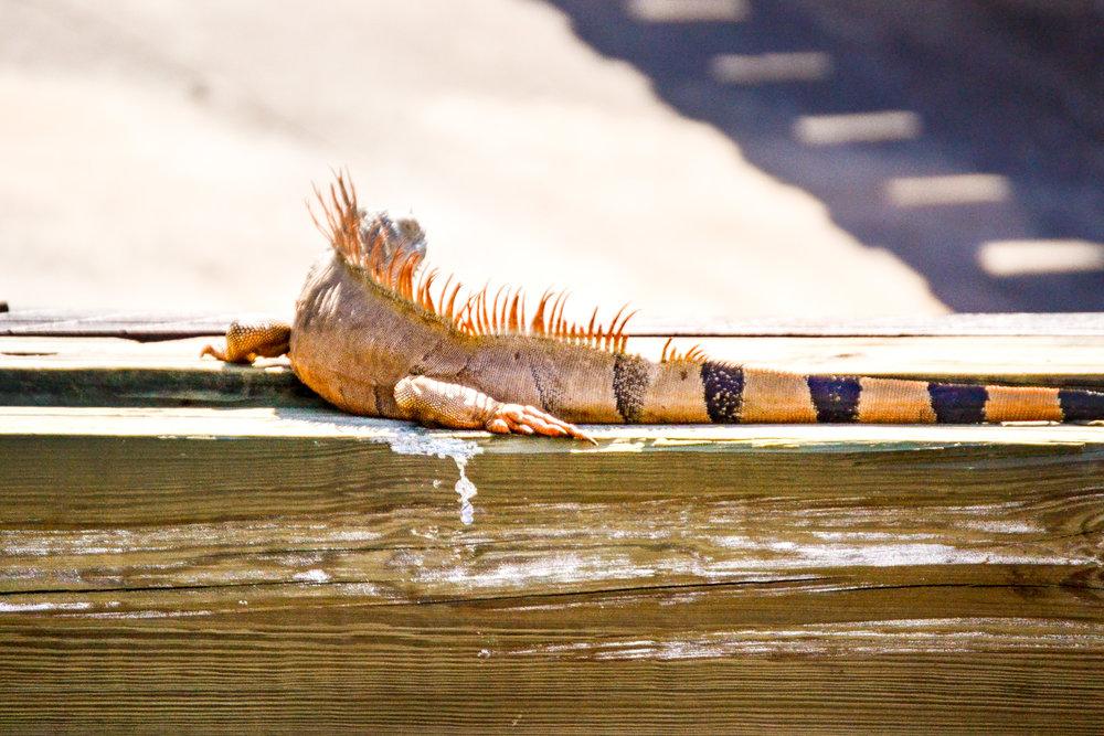olapi-creative-blue-discovery-tour-iguana