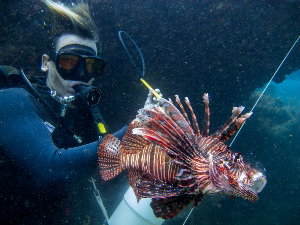 Just one of many adult Lionfish collected. These invasive species are creating an imbalance in the ecosystem.