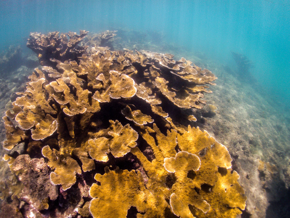 Home to the threatened Elkhorn Coral (Acropora palmatta), the Tres Palmas Marine Reserve is a protected area aimed at preserving these stands of natural living beauty.