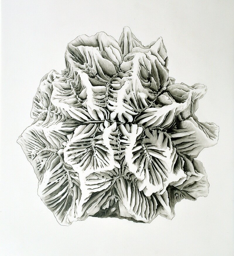 "Bleaching   2015  Graphite on Vellum  11"" x 14"""