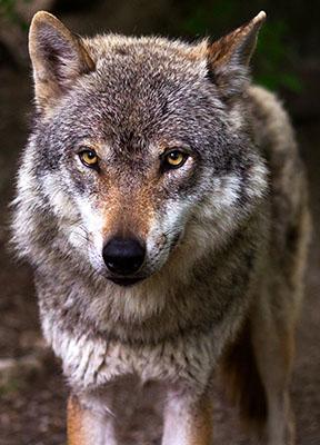 Wolf 2 rev LR.jpg