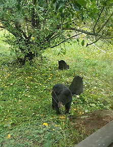 backyard bears 2 LR.jpg