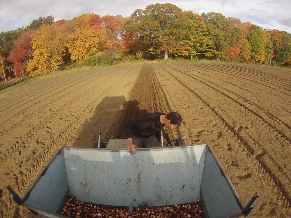 Planting our U-pick tulip field