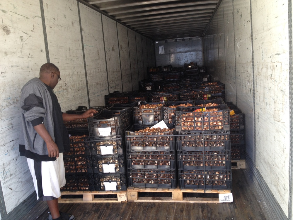 Quality bulbs from Holland - this is planting stock for our US grown bulbs available Fall 2016!