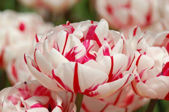 Carnaval di Nice Tulip.jpg