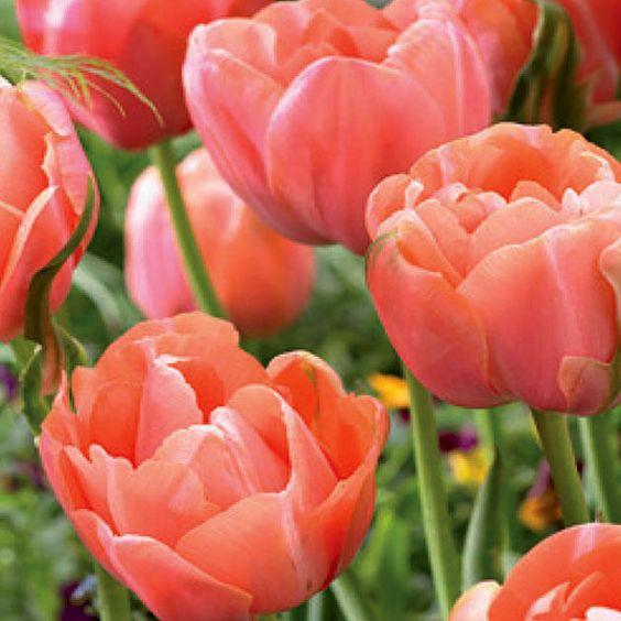 Menton Unique Tulips.jpg