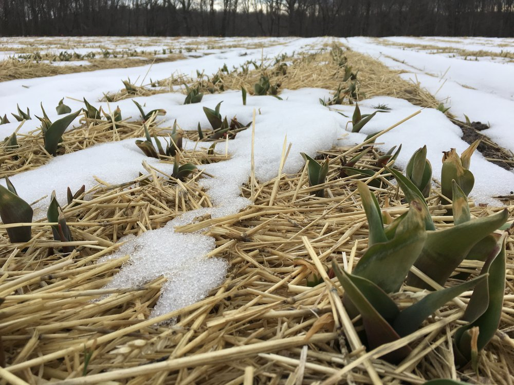 Waiting for the snow to melt so we can put the row cover on and speed up bloom time.