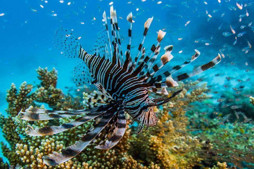 LifeOnTheReefLionFishSwimsInGreatBarrierReef.jpg.838x0_q80