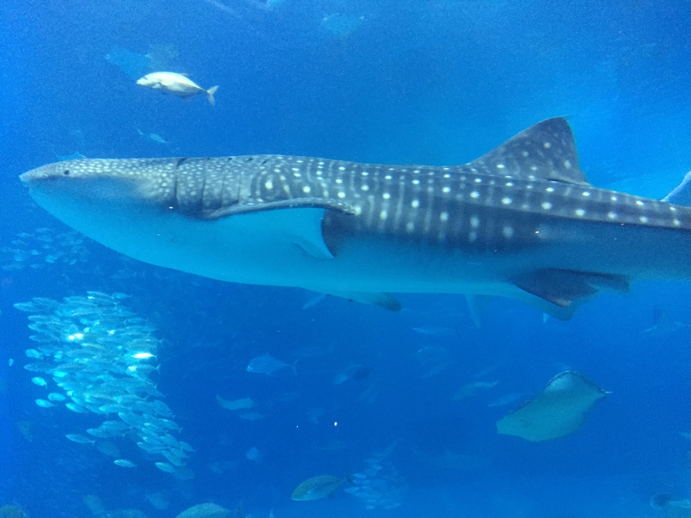 Whale shark at the aquarium!