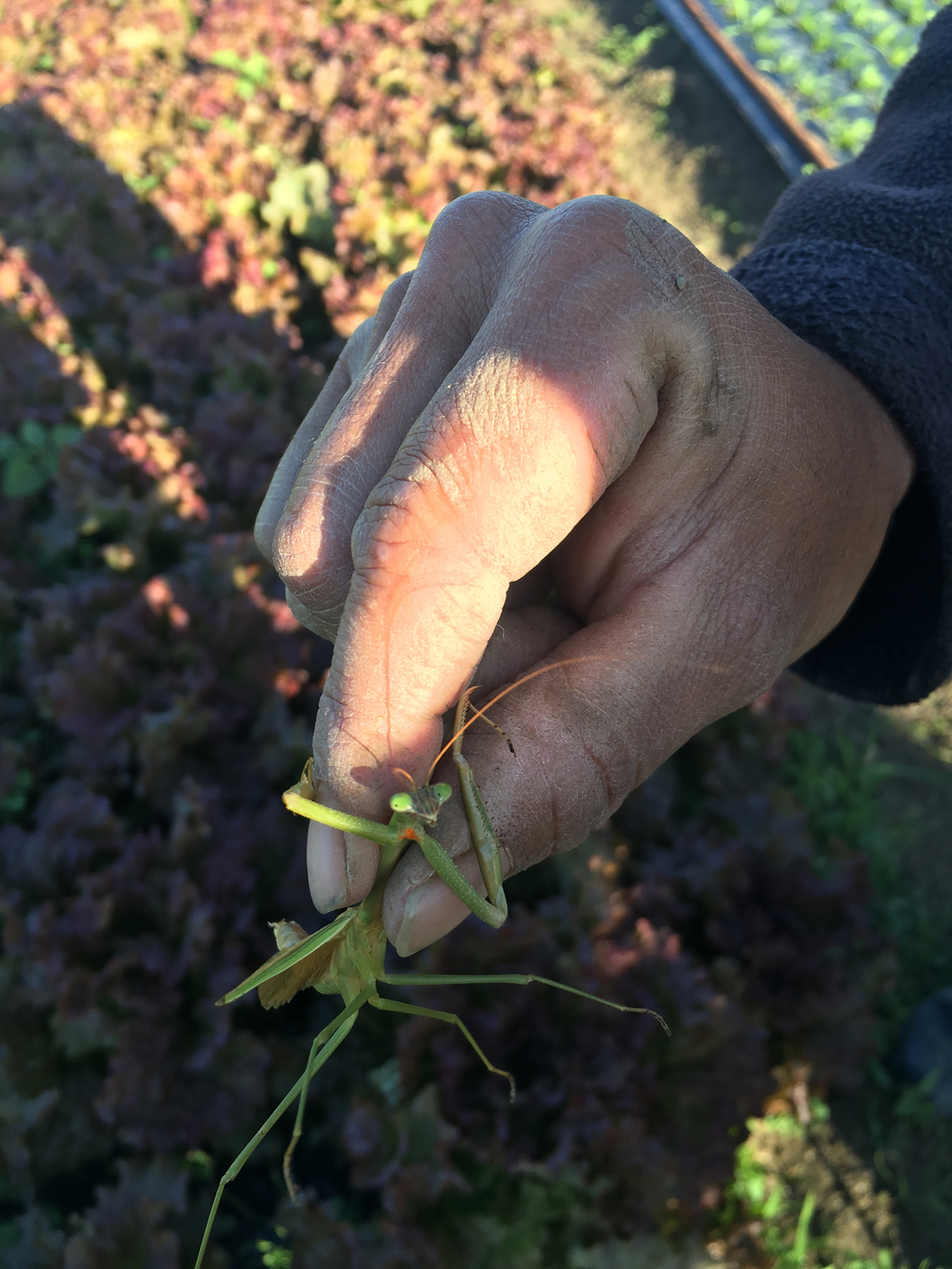Praying Mantis in the fields