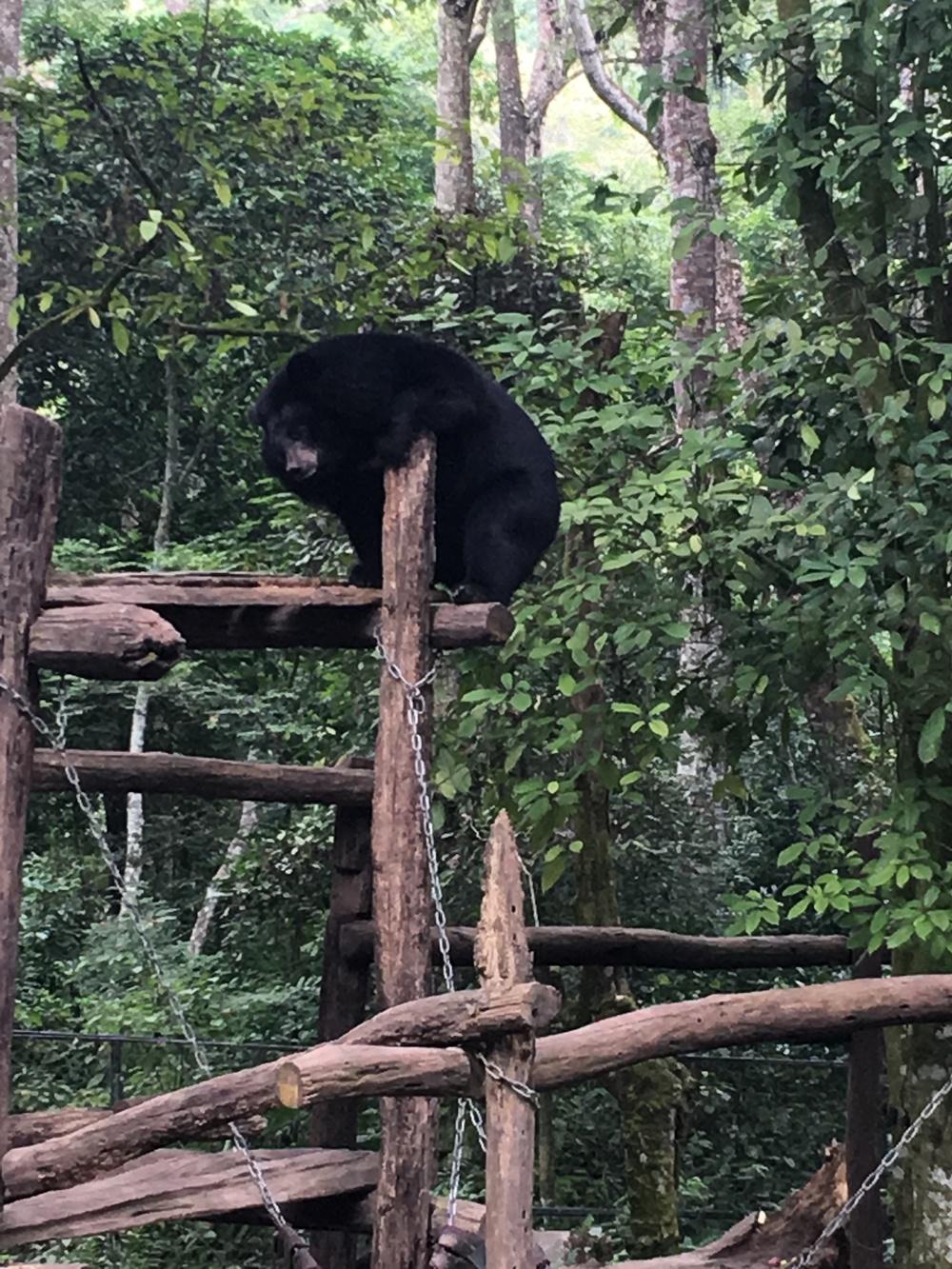 Moon Bear at Tat Kuang Si waterfall