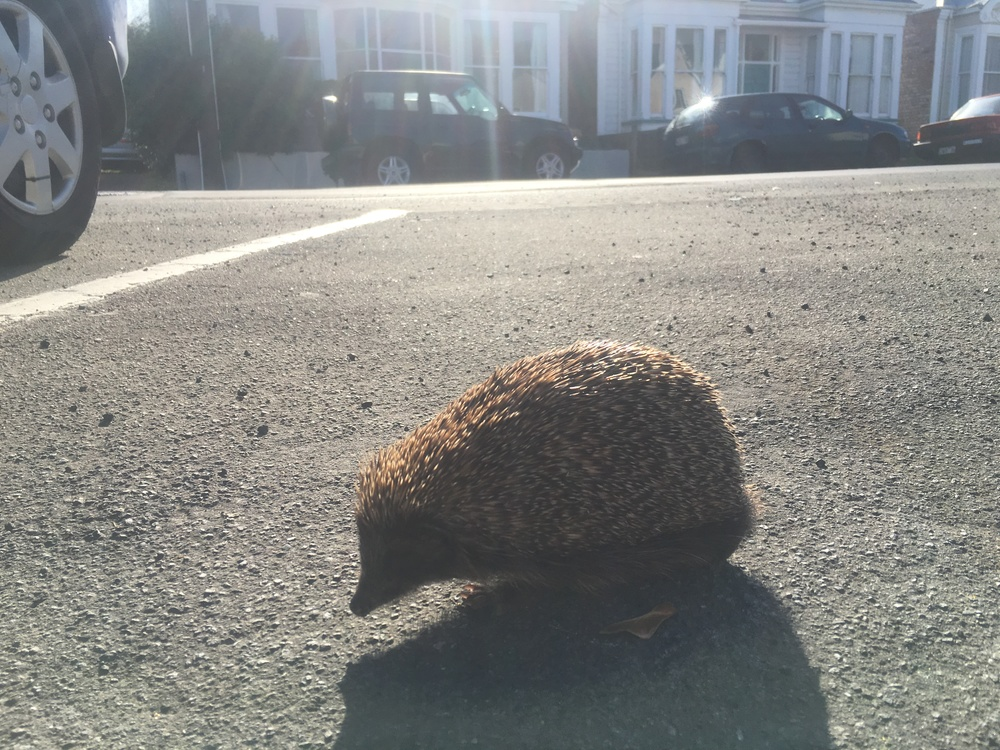 We saw this hedgehog crawling around the street on our run
