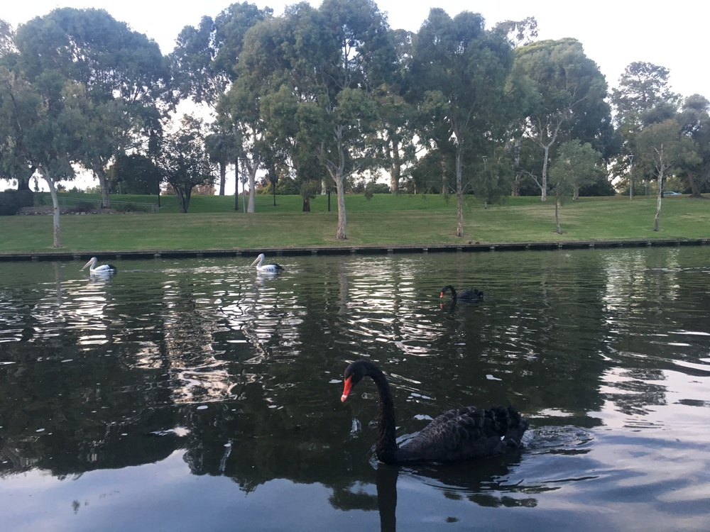 Literally two black swans at once