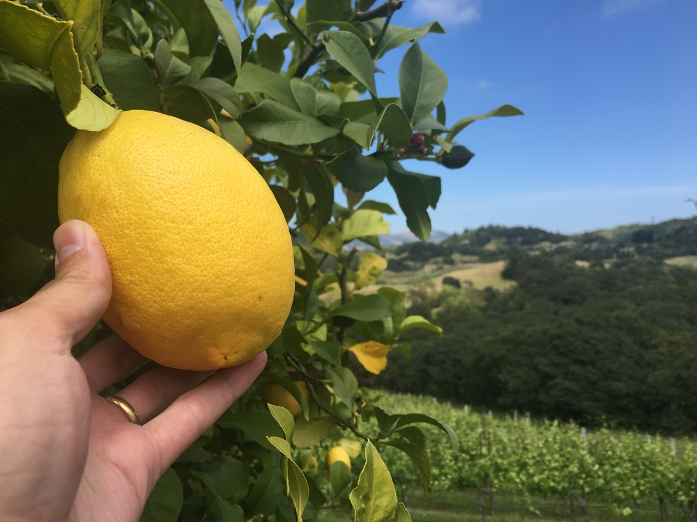 Massive lemons on the Morris vineyard
