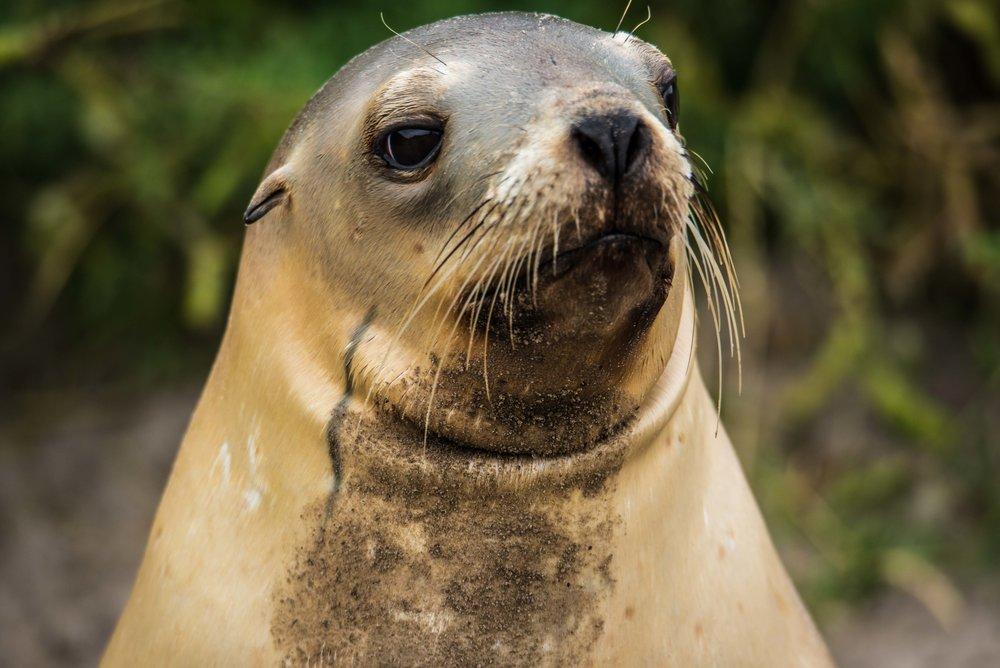 Allans Beach Seals-6935.jpg
