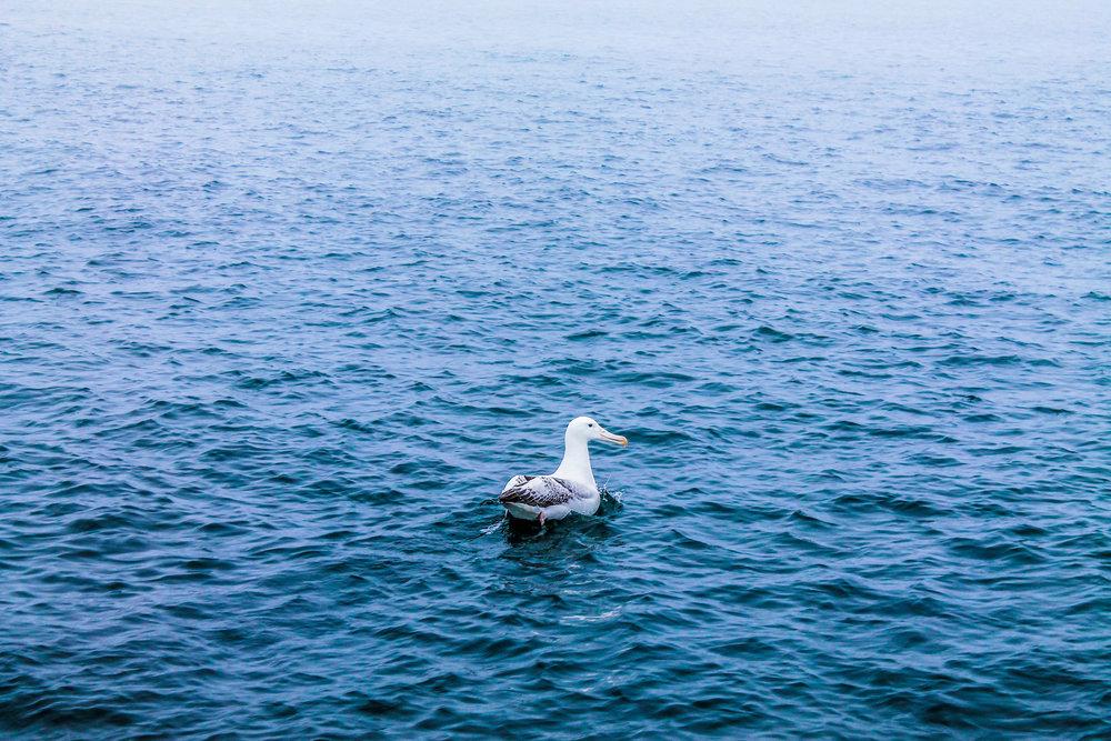 Albatross_3206.jpg