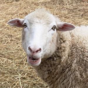 sheep_shearing.jpg