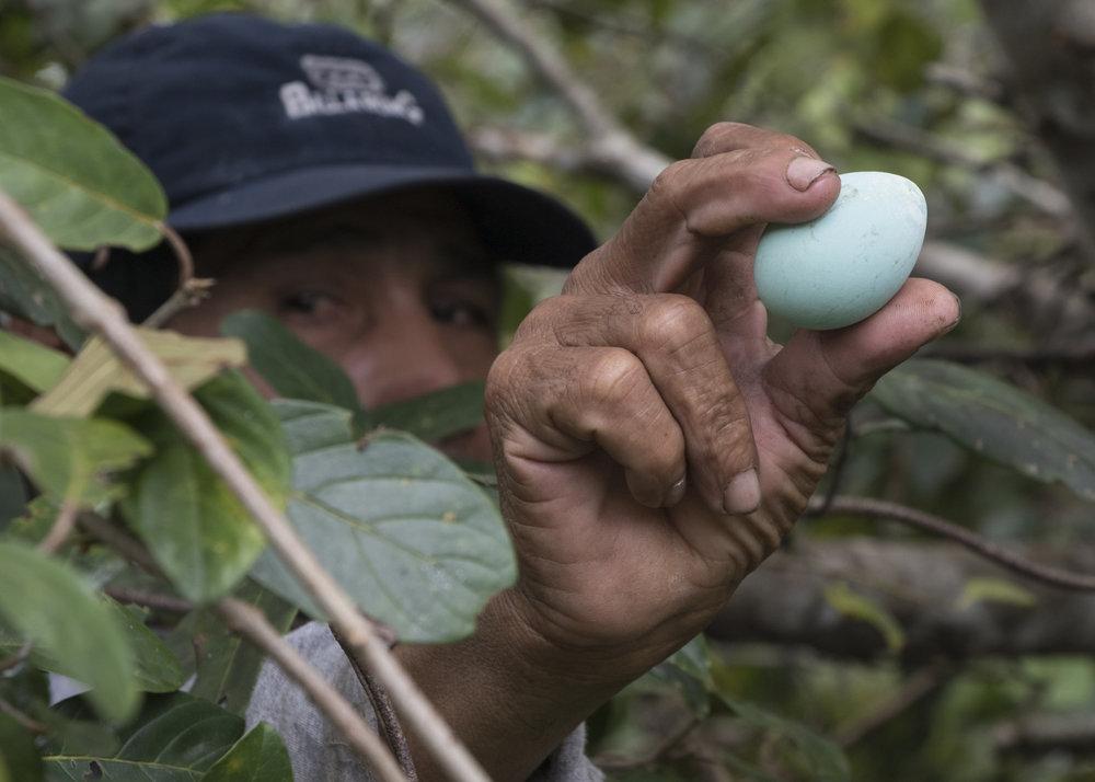 Agami Heron Egg