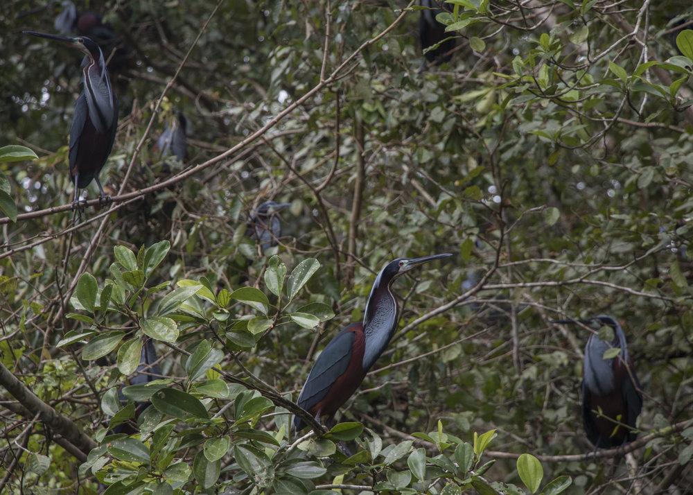 Nesting Agami Herons