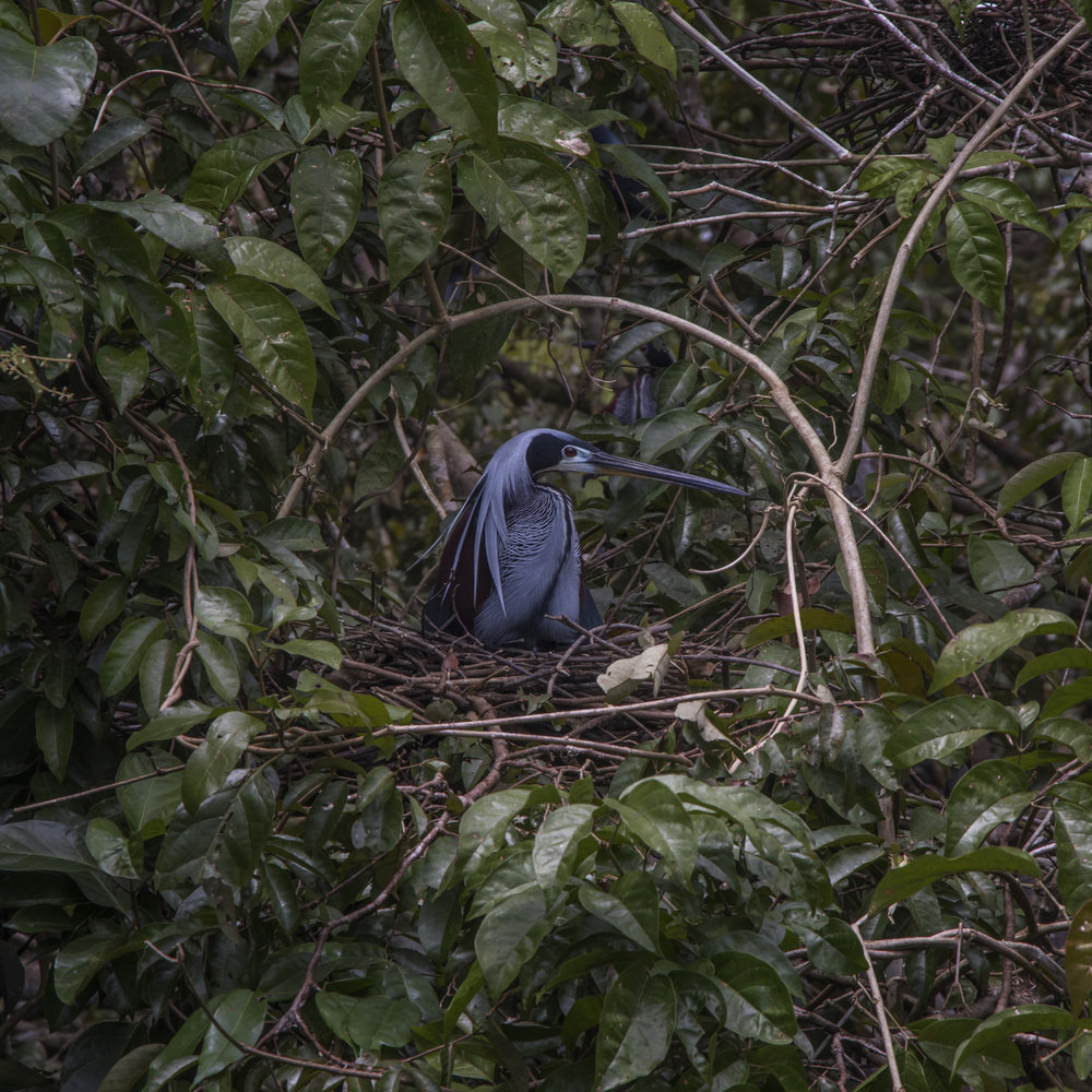 Nesting Agami Heron