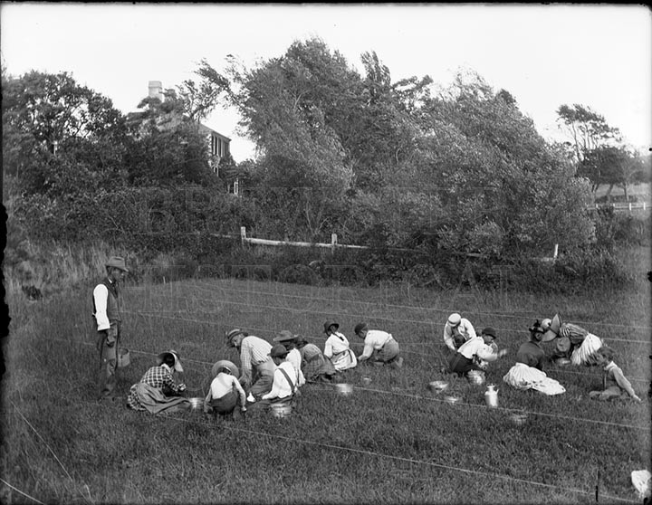 8. 1970.10.T142  Cranberry Pickers c.1893 – photographer unknown