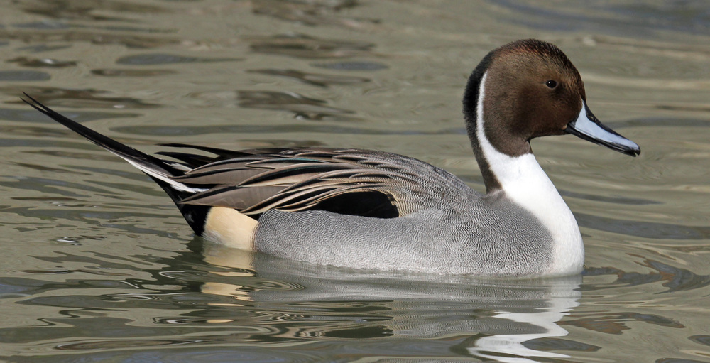 The male Northern Pintail is easy to identify by his striking markings and long tail
