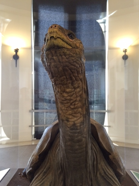 Lonesome George's body on display at the American Museum of Natural History, 10 October 2014. Photo courtesy of the author.