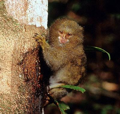 Gratuitous pygmy marmoset, with gauged tree.