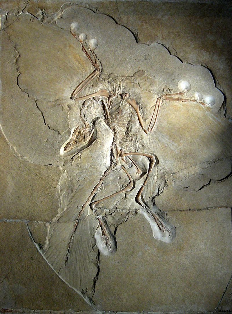 Figure 2:  Archaeopteryx  specimen (not the London specimen) (photo credit: H. Raab).