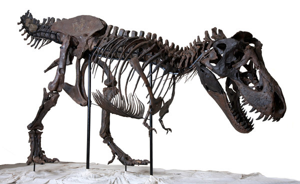 "BHI 6230, nicknamed ""Wyrex,"" from www.worldfossilsociety.org, because we've gone too long without a picture of a dinosaur."