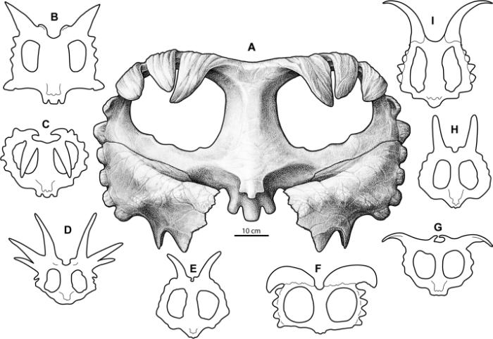 Comparative reconstructions of centrosaurine ceratopsid parietals. A, Wendiceratops pinhornensis; B, Xenoceratops foremostensis; C, Centrosaurus apertus; D, Styracosaurus albertensis; E, Achelousaurus horneri; F, Albertaceratops nesmoi; G, Pachyrhinosaurus lakustai; H, Einiosaurus procurvicornus; I, Diabloceratops eatoni. Credit: Figure 15 from Evans and Ryan, 2015.