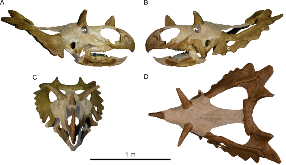 Skull reconstruction of Spiclypeus shipporum, with missing parts of the skull faded. Credit: Figure 3 from Mallon et al., 2016.