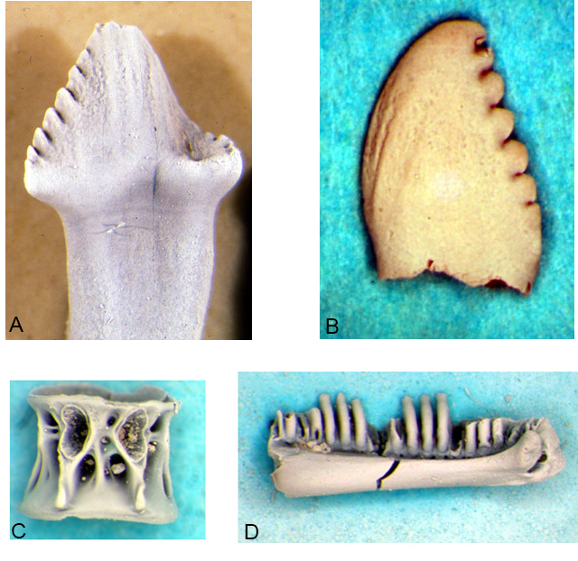 Examples of microvertebrates recovered from screenwashed samples that add to the diversity of vertebrates from Dinosaur Park.  A) tooth of a basal ornithomimid, probably Orodromeus.  B) Tooth of the small carnivorous dinosaur Pectinodon.  C) Centrum of a teleost identified as coming from a member of the Clupeidae.  D) dentary of the amphibian Albanerpeton.