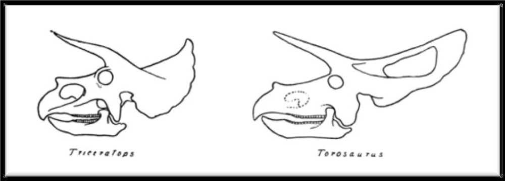 "Either the skulls of two genera of Ceratopsid, or the young and mature versions of a single species... (from  Dinosaurs , by Matthew (1915))                     Normal   0           false   false   false     EN-AU   X-NONE   X-NONE                                                                                                                                                                                                                                                                                                                                                                                                                                                                                                                                                                                                                                                                                                                                                                                                                                                               /* Style Definitions */  table.MsoNormalTable 	{mso-style-name:""Table Normal""; 	mso-tstyle-rowband-size:0; 	mso-tstyle-colband-size:0; 	mso-style-noshow:yes; 	mso-style-priority:99; 	mso-style-parent:""""; 	mso-padding-alt:0cm 5.4pt 0cm 5.4pt; 	mso-para-margin-top:0cm; 	mso-para-margin-right:0cm; 	mso-para-margin-bottom:10.0pt; 	mso-para-margin-left:0cm; 	line-height:115%; 	mso-pagination:widow-orphan; 	font-size:11.0pt; 	font-family:""Calibri"",sans-serif; 	mso-ascii-font-family:Calibri; 	mso-ascii-theme-font:minor-latin; 	mso-hansi-font-family:Calibri; 	mso-hansi-theme-font:minor-latin; 	mso-ansi-language:EN-AU; 	mso-fareast-language:EN-US;}"