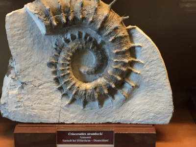 An ammonoid fossil on display at the Naturhistorisches Museum in Vienna. Photo by the author.