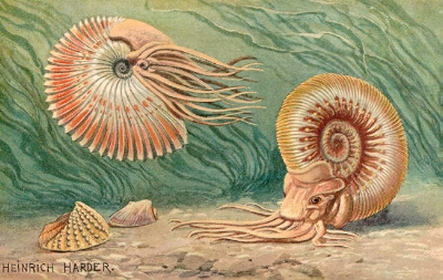 An early 20th century rendition of prehistoric ammonoids. Image courtesy of Wikimedia commons.