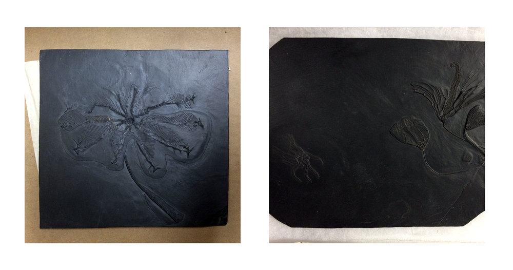 Crinoidea and Medusaster specimens in Hunsrück Slate from Bundenbach, Germany—Devonian Period.  (Photographs by the author, with special thanks to Scott Lidgard and Paul Mayer at FMNH.)