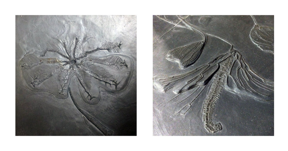 Two enhanced views of Crinoidea specimens in Hunsrück Slate from Bundenbach, Germany—Devonian Period.  (Photographs by the author, with special thanks to Scott Lidgard and Paul Mayer at FMNH.)