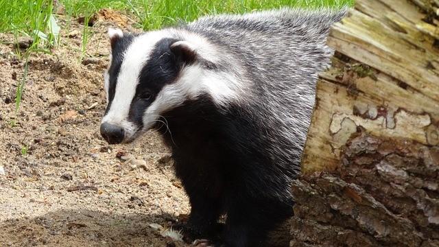 A badger!